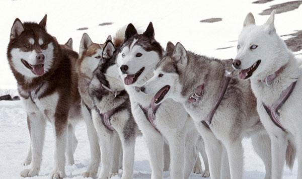 что означает волк с оскалом