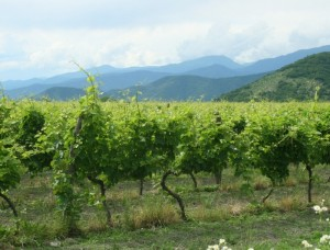 Грузия- Вино Киндзмароули делается именно из этого вот винограда.